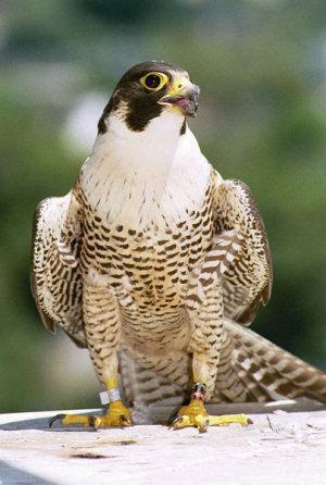 انواع الصقور falcon.jpg